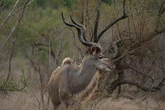 Een kudustier met ivooruiteinden Stock Fotografie