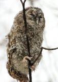Een kuiken van een grijze uil in het de winterbos royalty-vrije stock afbeeldingen