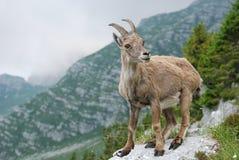 Een kuit in de Alpen Royalty-vrije Stock Afbeeldingen