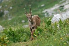 Een kuit in de Alpen Stock Foto