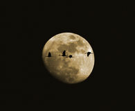 Een kwartet van Kranen Sandhill tegen de Maan Stock Fotografie