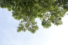 Een lage achtergrond verlaat overvloed van regenboom Stock Afbeelding