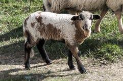 Een lam op het land stock foto
