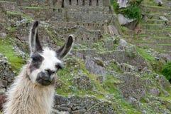 Een Lama in een terras met Machu Picchu weiden en omringende bergen die op de achtergrond Royalty-vrije Stock Foto