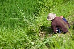 Een landbouwer in de rijstcontrole op het werk op het gebied Stock Foto