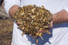 Een landbouwer die gouden, vergist graankuilvoeder houden stock foto