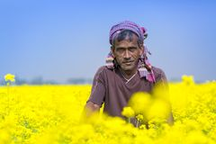 Een landbouwer glimlacht op volledig bloeiend mosterdgebied in Sirajdhikha, Munshigonj, Dhaka, Bangladesh Royalty-vrije Stock Foto's
