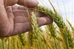 Een Landbouwer Inspects Winter Wheat royalty-vrije stock afbeelding