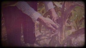 Een landbouwer op een graangebied Een bejaarde in een strohoed en een vest loopt door een graangebied en controleert de oogst stock video