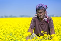 Een landbouwer op volledig bloeiend mosterdgebied in Sirajdhikha, Munshigonj, Dhaka, Bangladesh royalty-vrije stock foto's