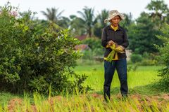 Een landbouwer van de vrouwenrijst in Kambodja Stock Afbeeldingen