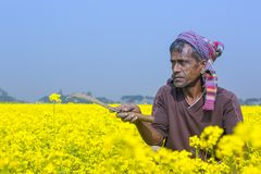 Een landbouwer werkt op volledig bloeiend mosterdgebied in Sirajdhikha, Munshigonj, Dhaka, Bangladesh stock fotografie