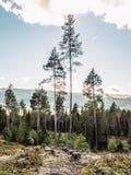 Een landelijk landschapslandschap van een stil naaldbos met lange sparren en cutted boomstomp op de droge vegetatie royalty-vrije stock foto's