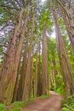 Een landweg door een Sequoiabosje Royalty-vrije Stock Fotografie