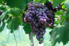 Een lang koord van purpere druiven stock foto's