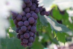 Een lang koord van purpere druiven royalty-vrije stock foto