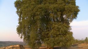 Een lange boom door een steenmuur stock videobeelden