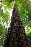 Een lange boom in regenwoud Royalty-vrije Stock Fotografie