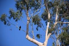 Een lange Eucalyptusboom met een kraai streek op een lidmaat neer stock afbeelding