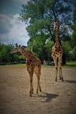 Een lange giraf met zijn baby in de dierentuin van Chester stock foto's