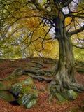 Een lange oude beukboom met groene geweven schors en gouden geel de herfstgebladerte en verdraaide blootgestelde wortels in bemos royalty-vrije stock afbeeldingen