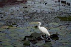 Een lange witte grote aigrette (alba Ardea) bevindt zich op een water met zijn hoofd en S-curvehals in profiel Royalty-vrije Stock Afbeelding