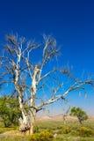 Een lange, zodra-majestueuze Cottonwood-boom is gestorven aan droogte in landelijk Utah stock fotografie