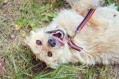 Een langharige dakloze hond ligt op zijn rug met zijn tong die uit plakken Portret van hierboven stock foto's