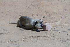 Een langoor aur hanuman aap Stock Fotografie