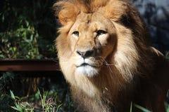 Een leeuw Stock Afbeeldingen