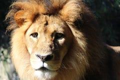 Een leeuw Royalty-vrije Stock Foto's
