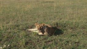 Een leeuw bij hoog alarm stock videobeelden