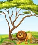 Een leeuw dichtbij een grote boom in de heuvels Stock Foto