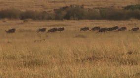 Een leeuw die proberen te jagen stock footage