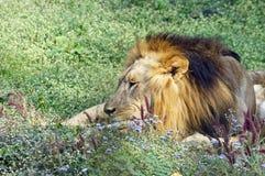 Een leeuw die rust in de middag nemen stock foto's