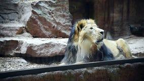 Een leeuw in dierentuin stock footage