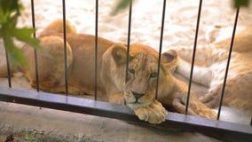 Een leeuwin binnen in een kooi kijkt door een vogelhuis De leeuwin rust in het dierentuinvogelhuis, een groep die leeuwen binnen  stock footage