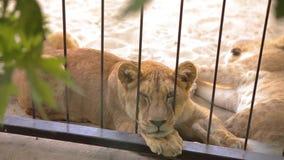 Een leeuwin binnen in een kooi kijkt door een vogelhuis De leeuwin rust in het dierentuinvogelhuis, een groep die leeuwen binnen  stock videobeelden