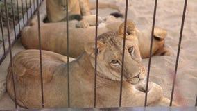 Een leeuwin binnen in een kooi kijkt door een vogelhuis De leeuwin rust in het dierentuinvogelhuis, een groep die leeuwen binnen  stock video