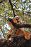 Een leeuwin in een boom in Meerpark, Tanzania Stock Afbeelding
