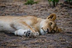 Een leeuwin die in het Nationale Park van Serengeti rusten Stock Foto's