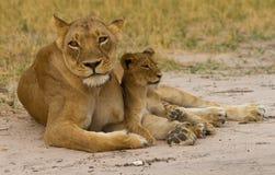 Een Leeuwin en een jonge welp op de stoffige vlaktes in Hwange stock afbeeldingen
