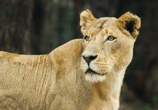 Een leeuwin in Zuid-Afrika wordt gefotografeerd dat Stock Fotografie