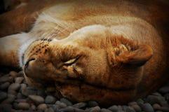 Een leeuwinslaap Stock Fotografie