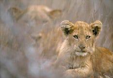 Een leeuwwelp en haar moeder in Nationaal Park Kruger, Royalty-vrije Stock Foto