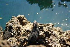 Een leguaan die over water in de Eilanden van de Galapagos kijken Stock Afbeeldingen