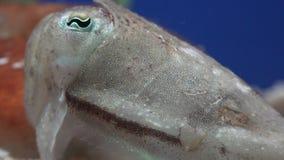 Een Lelijk Onderzees Schepsel stock video