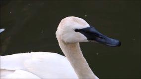 Een lengte die van wit buccinator de zwaanhoofd van Cygnus in dichte omhooggaand, in een rivier zwemmen stock video