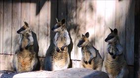 Een lengte van leuke grijze wallaby vier die zich met aanbiddelijk ogenblik bevinden stock videobeelden