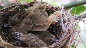 Een lengte van twee Bruine haired de vogelslaap van de musbaby in zijn nest bij een tuin in Thailand stock footage